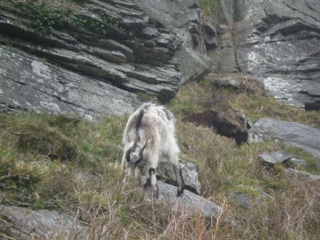 Goats at valley of the rocks